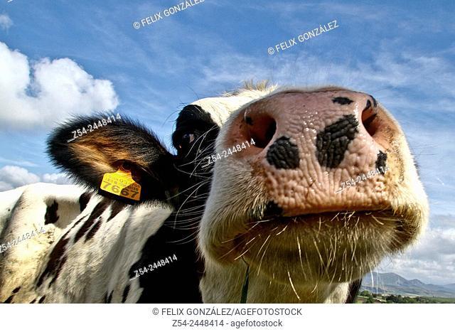 Cow Close-Up at Tineo, Asturias, Spain