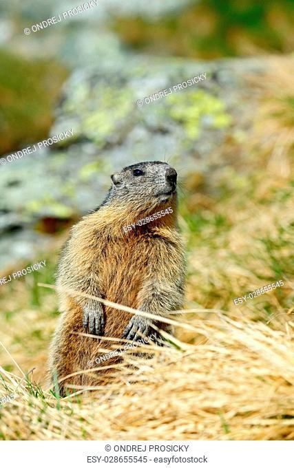 Marmot, Marmota marmota