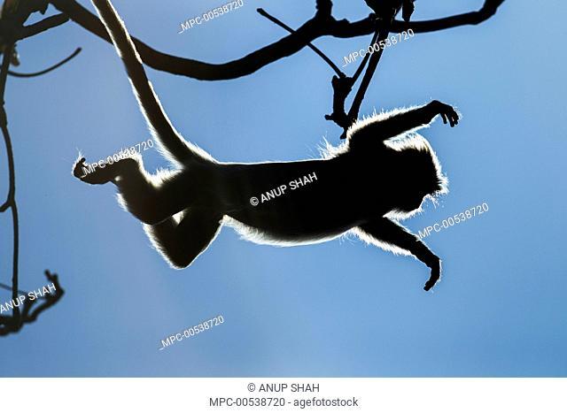 Silvered Leaf Monkey (Trachypithecus cristatus) jumping from tree, Bako National Park, Sarawak, Borneo, Malaysia