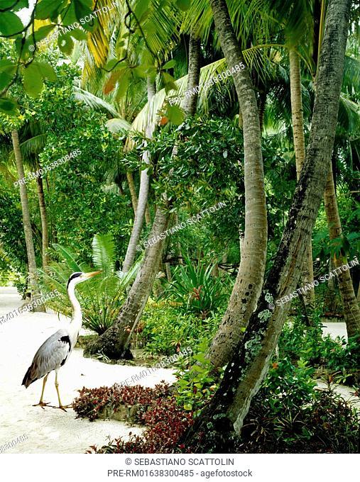 Tropical garden in the resort of Ellaidhoo, Republic of Maldives, Asia / Tropische Parkanlage im Tourist Resort Ellaidhoo, Republik Malediven, Asien