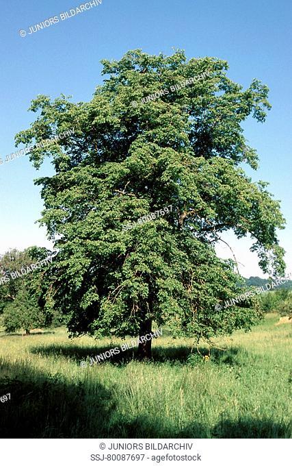 DEU, 2002: Little-leaved Lime (Tilia platiphyllos), tree in summer