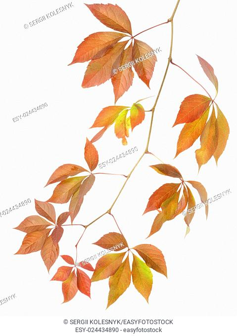 Autumn branch of wild grapes isolated on white background