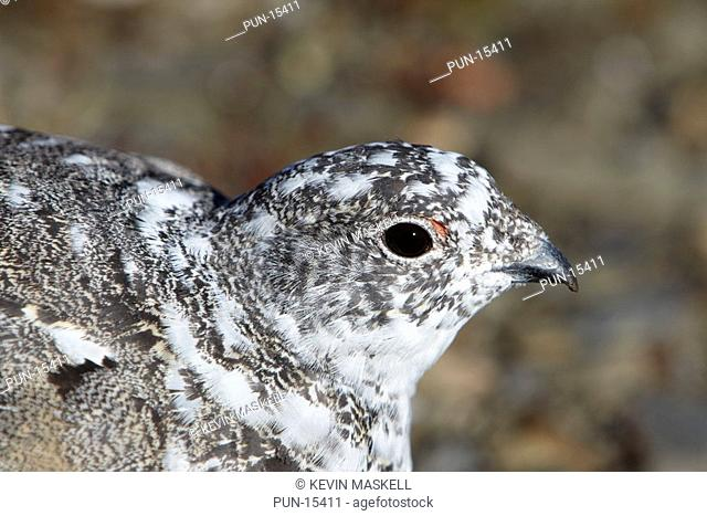 White-tailed ptarmigan Lagopus leucurus portrait on The Whistlers, Jasper National Park, Alberta, Canada