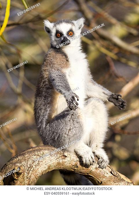 Ring-tailed lemur (Lemur catta) enjoying the winter sun