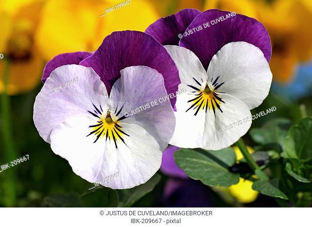 Flowering horned violets - hybrids (Viola cornuta)