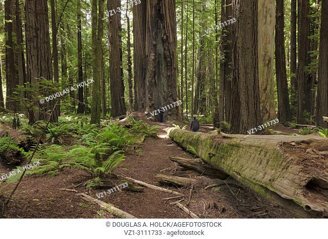 What is man that you are mindful of him? The wonder of creation amongst the ancient redwoods of the Avenue of the Giants, Northern California, USA