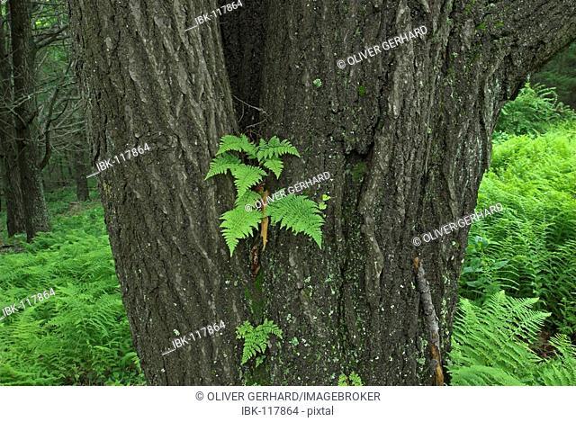 Fern growing on a tree, Shenandoah National Park, Virginia, USA