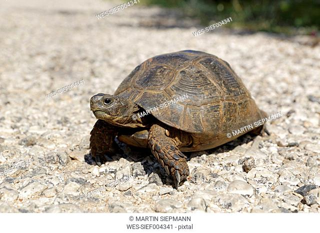 Turkey, Lycia, Spur-thighed tortoise, close-up