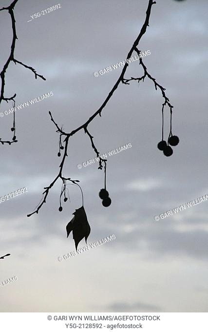 round seeds on bare tree branches