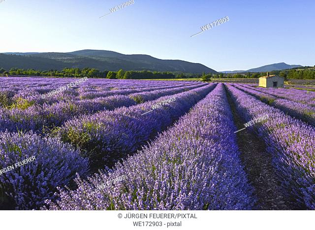blossoming lavender field in dreamy light with landscape at sunset time near Sault, Provence, France, golden hour in the evening