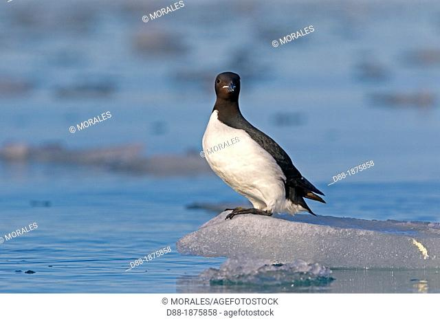 Norway , Spitzbergern , Svalbard , Thick-billed Murre or Brünnich's Guillemot Uria lomvia , resting on a piece of ice