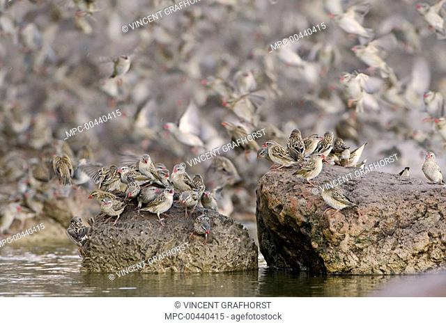 Red-billed Quelea (Quelea quelea) flock flying and sitting on rocks in the water, Makgadikgadi, Botswana