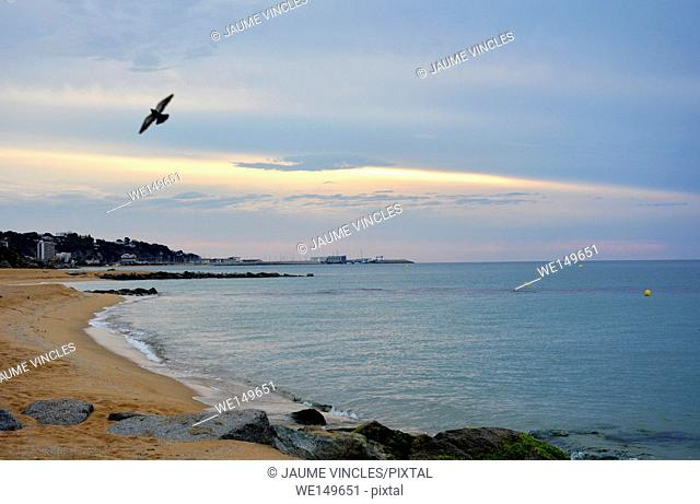 Pigeon flying over the beach. Caldes d'Estrac, Maresme, Barcelona Province, Spain