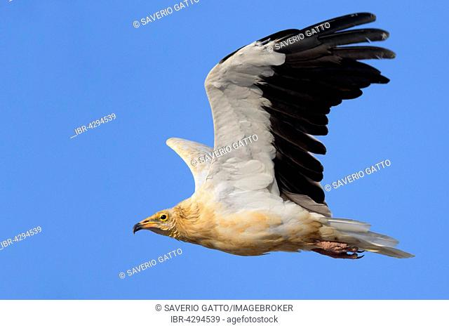 Egyptian Vulture (Neophron percnopterus), adult in flight, Qurayyat, Muscat Governorate, OmanAlttier