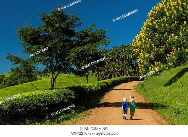Young boy and girl walking up road past fields of tea bushes and a Winter Cassia, Satemwa Tea Estate; Thyolo, Malawi