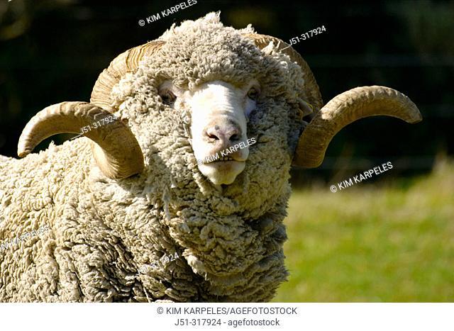 Saxon Merino sheep, look at camera, curved horns. New Zealand