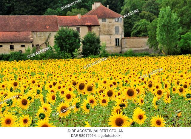 Sunflower field near Saint-Amand-en-Puisaye, Bourgogne-Franche-Comte, France