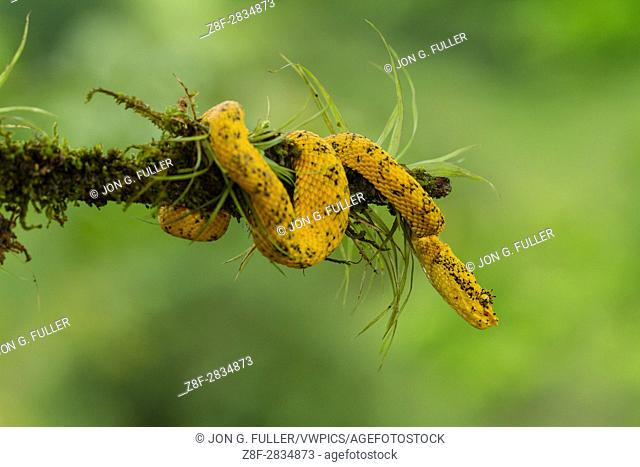 Eyelash Viper, Horned Palm Viper, Bothriechis schlegelii, Schlegelâ. . s Palm Viper, is a relatively small arboreal pit viper