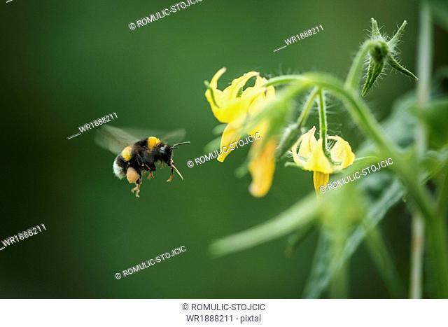 Bumblebee Beside Zucchini Plant, Croatia, Slavonia, Europe