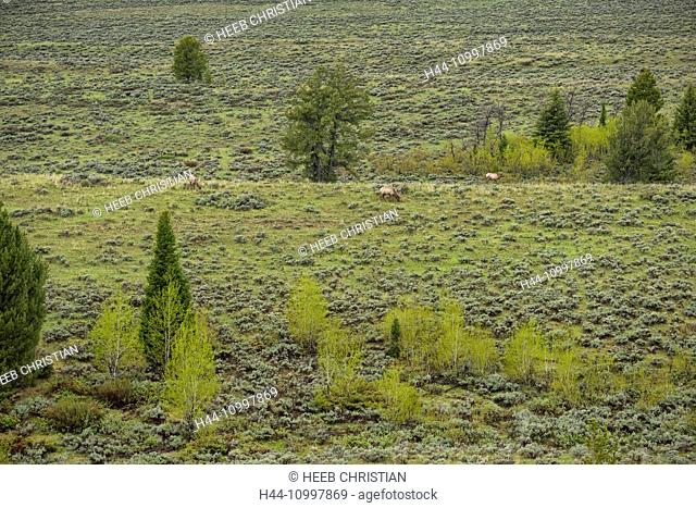 USA, Wyoming, Grand Teton, National Park, Elk in Snake river valley