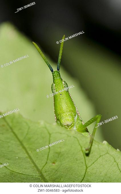 Grasshopper (Orthoptera order, Caelifera sub-order) poking out from leaf, Klungkung, Bali, Indonesia