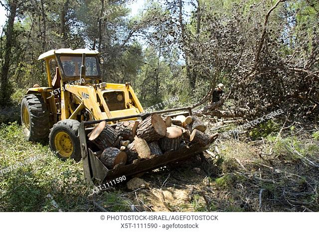 Israel, Golan Heights, Foresters working in a natural forest, cutting down trees to thin out the forest