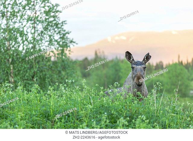 Moose, Alces alces standing in Cow parsley and looking into camera with a birch and mountain in background, Kvikkjokk, Sweden, Swedish lapland