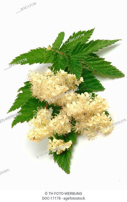 Meadowsweet - medicinal plant - herb - Filipendula ulmaria - Olmario - pianta medizinale