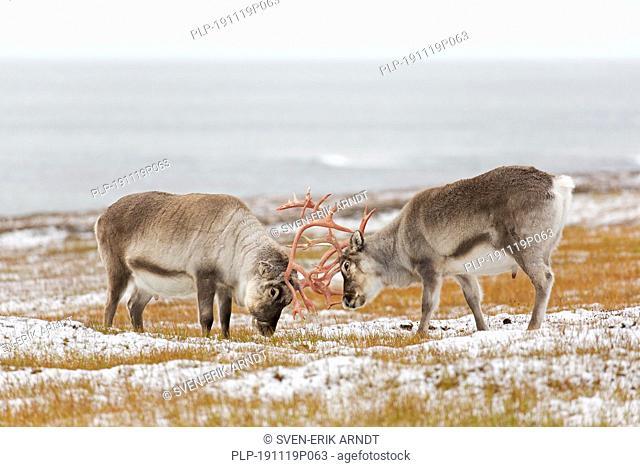 Two Svalbard reindeer (Rangifer tarandus platyrhynchus) males / bulls fighting by locking antlers on the tundra in autumn / fall, Svalbard, Norway