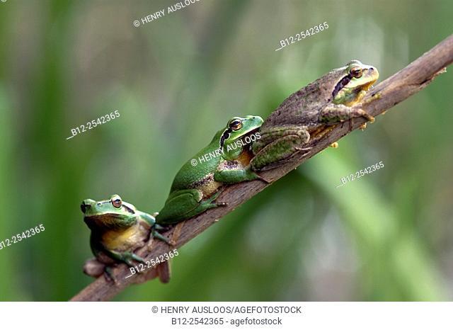 Stripeless Tree Frog Hyla meridionalis - Camargue - France