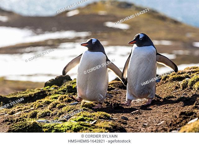 Antarctic, South Georgia Island, Godthul, Gentoo Penguin (Pygoscelis papua papua)