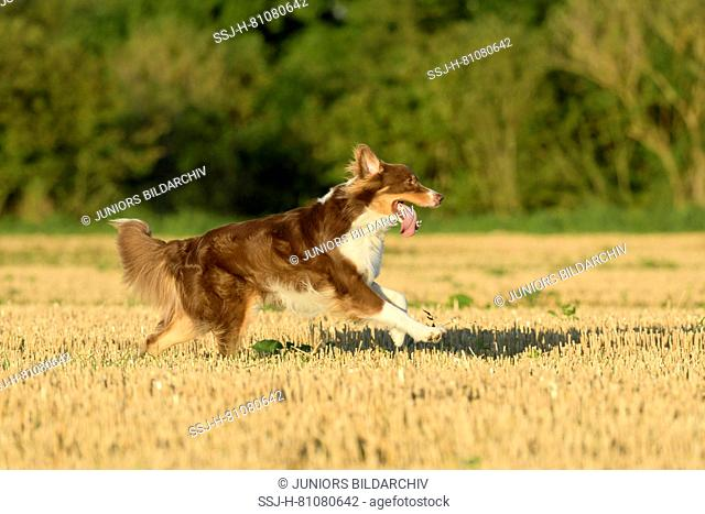 Australian Shepherd. Adult dog running in a stubble field. Germany