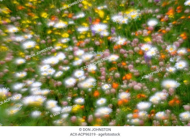 Wildflower fantasy- roadside daisies, vetch and hawkweed, Greater Sudbury, Ontario, Canada