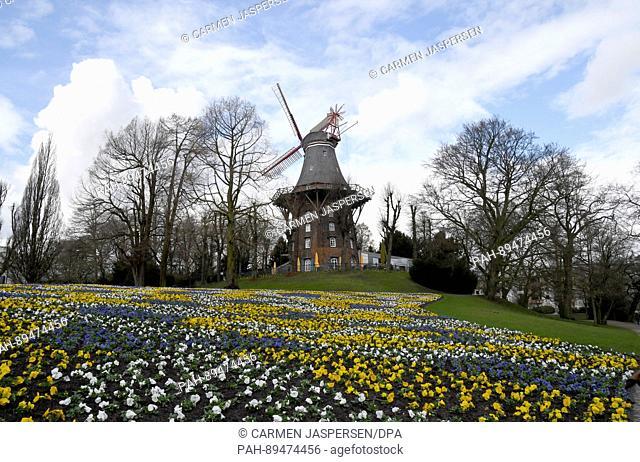 Pansies flowering in front of Herdentorswallmuehle wind mill inBremen,Germany, 21 March 2017. Photo: Carmen Jaspersen/dpa | usage worldwide