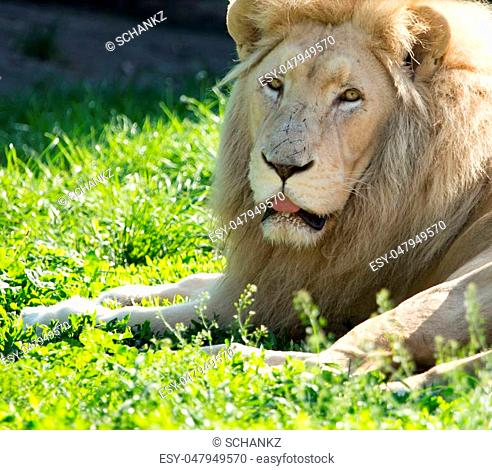 Lion lies on the grass in the wild