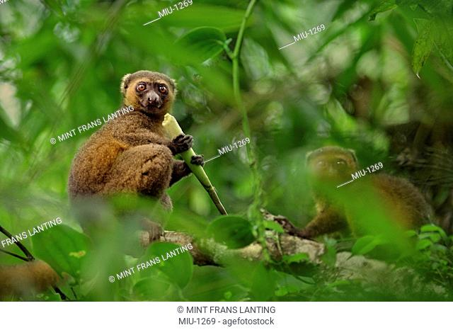 Golden bamboo lemur eating bamboo, Hapalemur aureus, Ranomafana National Park, Madagascar