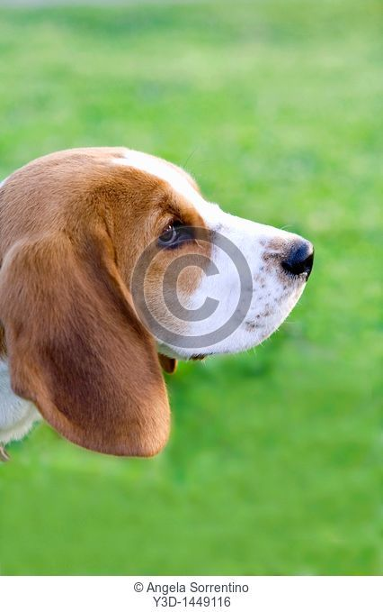 Beagle profile portrait