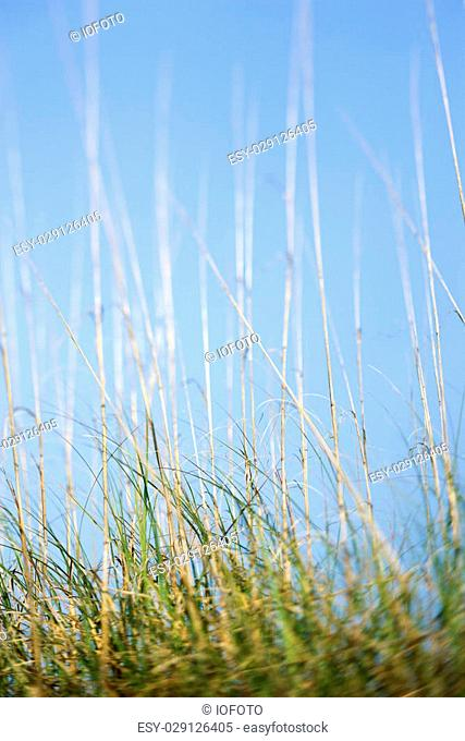 Scenic grass at beach with blue sky