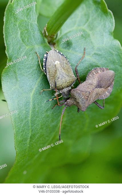 Dock Bug, Coreus marginatus and Vernal Shieldbug, Peribalus strictus. Dock Bug, Coreus marginatus, s dark reddish-plum squash bug with dark legs and antenna