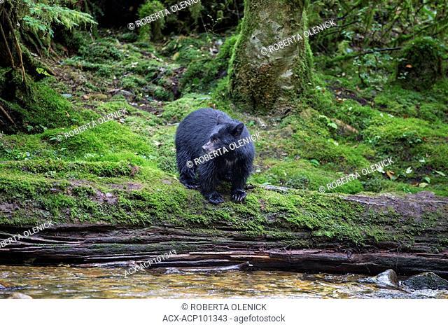 Black spirit bear (Ursus americanus kermodei), cub, Great Bear Rainforest, British Columbia, Canada. Approximately 1 in 10 bears of this subspecies of black...