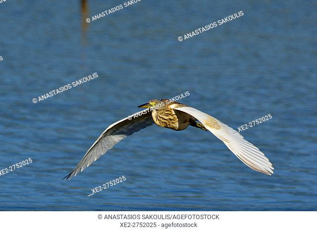 Squacco Heron - Ardeola ralloides, Crete