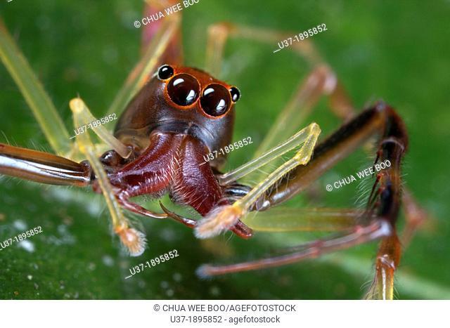 Jumping spider Salticidae. Image taken at Kampung Satau, Sarawak, Malaysia