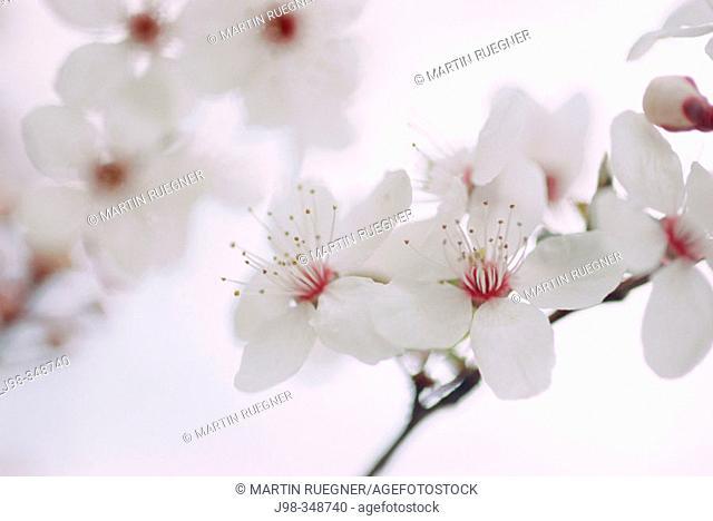 Japanese flowering Cherry (Prunus serrulata 'Hyupride')