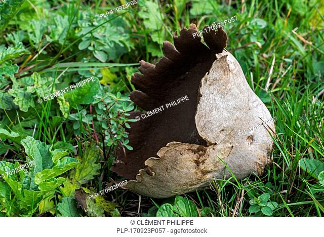 Mosaic puffball (Handkea utriformis / Lycoperdon utriforme / Lycoperdon caelatum / Calvatia utriformis) showing powdery gleba