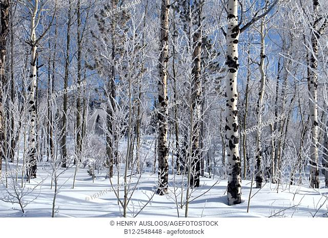 Frozen birch trees. Yellowstone National Park , Wyoming , USA