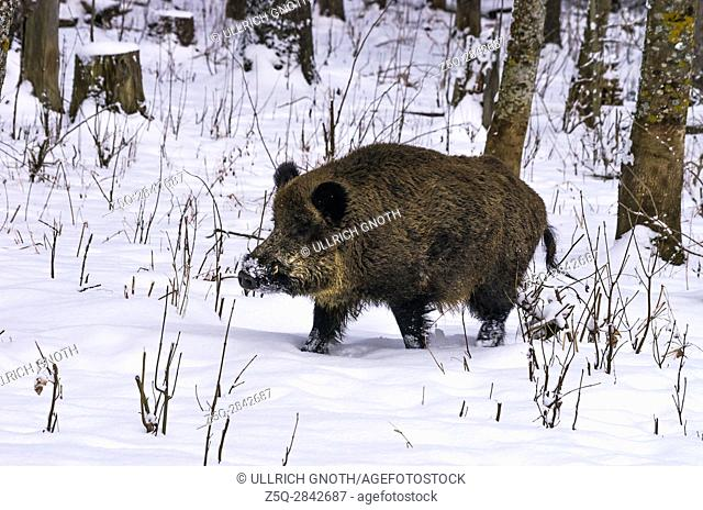 Wild pig in a snowy wintery forest