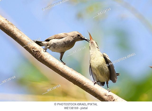 Female Palestine Sunbird or Northern Orange-tufted Sunbird (Cinnyris oseus) feeds a young hatchling. A small passerine bird of the sunbird family which is found...