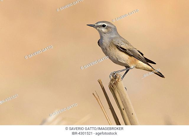 Red-tailed Wheatear (Oenanthe Oenanthe chrysopygia), perched on a piece of wood, Qurayyat, Muscat Governorate, Oman