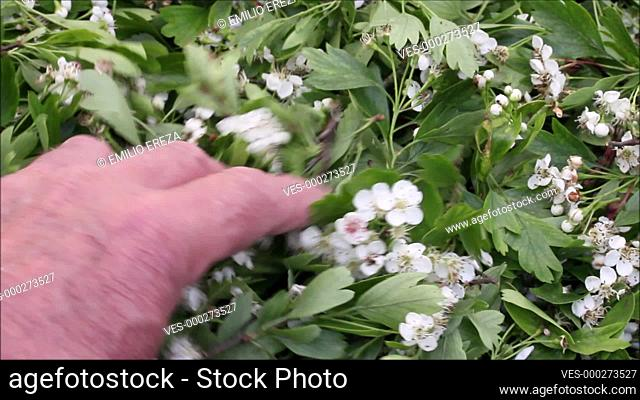 Picking up and drying hawthorn flowers and leaves