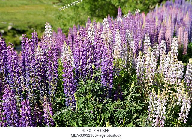 New Zealand, South-island, Central Otago, Cardrona River, many-leaved-lupines, Lupinus polyphyllus, detail, nature, shore, vegetation, plants, papilionaceae